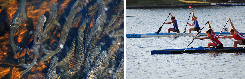 Migrating Gaspereau in Maine and paddlers on Lake Banook. Photos Bangor Daily News and Paul