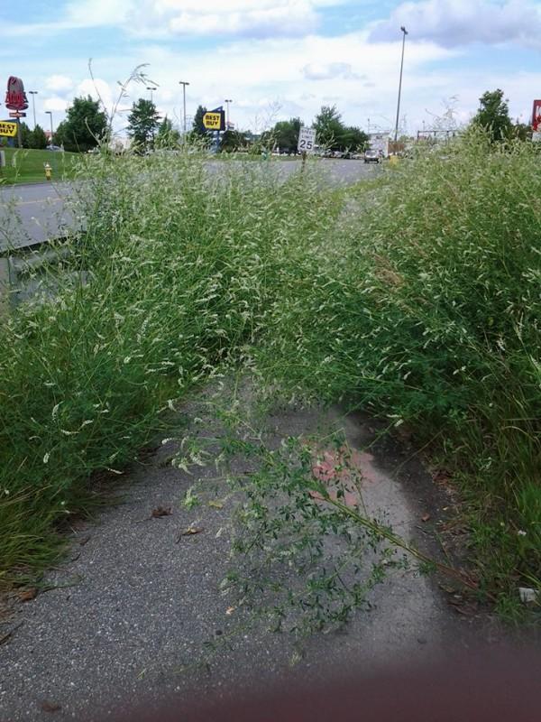 Overgrown sidewalk near the Bangor Mall