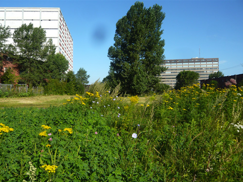 The new division between private and public: Tansy (tanaisie), Golden rod (verge d'or), chicory (chicorée) in foreground, brown stubble on city land