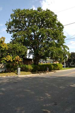 Biggest bur oak on the island. Côte St-Luc. (photo: Roger Latour)