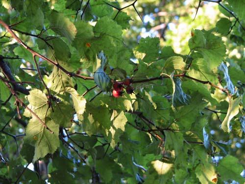 hawthorn fruit csl sm
