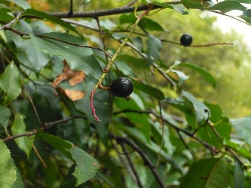 Le cerise noire et rarement vu!