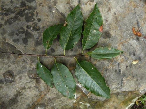 Les feuilles simples et alternes du cerisier tardif.