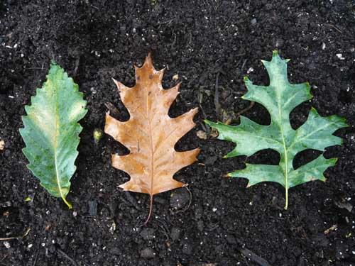 Chêne châtaignier (Chestnut oak, Quercus montana), Chêne rouge (Red oak, Quercus rubra), Chêne des marais (Pin oak, Quercus palustris)