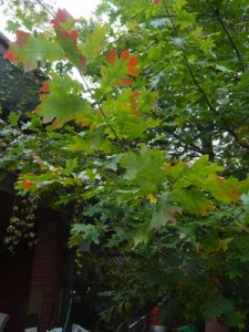 red oak, red leaves sm