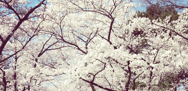 The Story Behind The Sakura Cherry Blossoms Of High Park Spacing Toronto